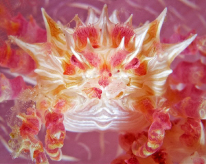"""""""Dendronephthya Crab""""  Soft coral crabs (or candy crabs... by Henry Jager"""