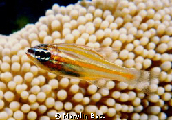 Cardinal Fish swimming over a small amemone.  Nikonos 5 ... by Marylin Batt