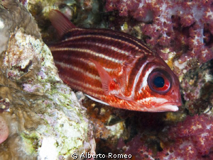 Portrait of Red Squirrelfish ( Sarocentrum rubrum) by Alberto Romeo