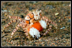 Boxercrab with eggs. by Dray Van Beeck