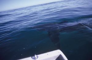 Great white from the boat. F50, 20mm. by Derek Haslam