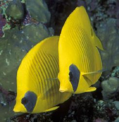 Lemon Butterflyfishes taken in Southern Egyptian Red Sea ... by Len Deeley