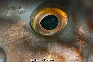 morwong eye -no cropping by Dave Baxter