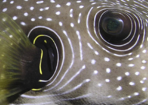 Detail of a White-Spotted Pufferfish by Carol Cox