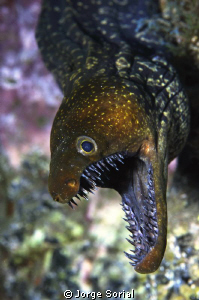 Fangtooth moray defending its territory by Jorge Sorial