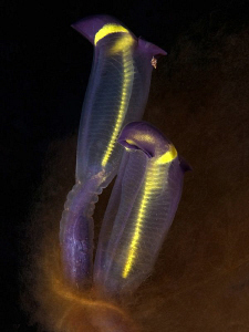 Tunicates, Kurnell by Doug Anderson