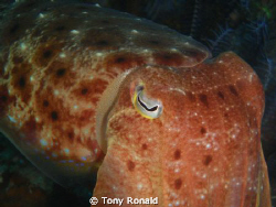 Cuttle Fish by Tony Ronald