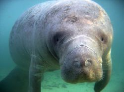 Manatee saying hi at Crystal River, Florida. Picture take... by Marko Wramén