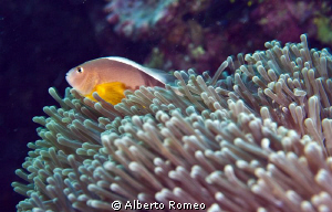 Clownfish ( Anphiprion sandaracinos ) and his Anemone by Alberto Romeo