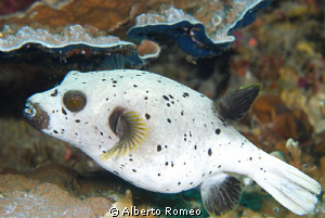 Portrait of a Blackspotted Pufferfish (Arothon nigropunct... by Alberto Romeo