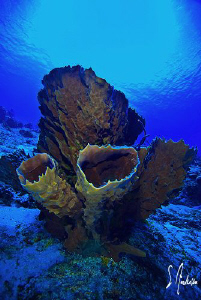 This image of a Branching Vase Sponge was taken the other... by Steven Anderson
