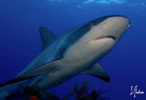 Reef Shark cruising on Ginormous Reef - Bahamas by Steven Anderson
