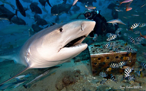 Laura the young tiger shark munches on a giant trevally. ... by Sam Cahir