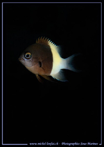 Little Damsel Fish in the Red Sea ...... Que du bonheur..... by Michel Lonfat