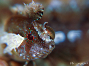 Close-up of Kuiter's Weedfish (Heteroclinus kuiteri) by Brian Mayes
