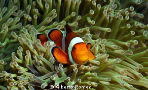 Portrait of a False Clown Anemonefish ( Anphiprion percula) by Alberto Romeo