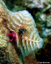 A Christmas Tree Worm in Utila. Does anyone know what the... by Susan Beerman