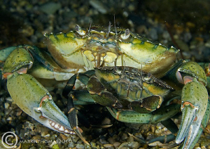 Little & Large - shore crabs. D3 60mm. by Mark Thomas