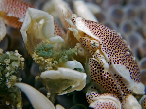 """""""Dinner""""  Whatever this porcelain crab eat's, it seems ... by Henry Jager"""