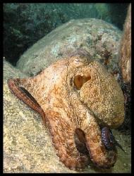 Octopus filosus by Thomas Dinesen