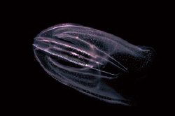 "This ctenophore reminds me a bit of the movie "" Abyss "". by Roland Bach"