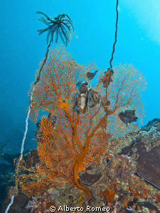 Feather Star ( Dichrometra sp.) and Knotted Gorgonian 
