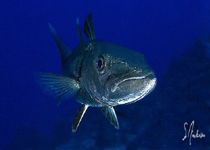 This image of a Barracuda was taken during a dive at Colu... by Steven Anderson