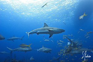 Reef Sharks come to the feeding party at Ginormous Reef -... by Steven Anderson