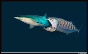 mackerel's revenge by Dray Van Beeck