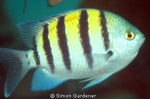 Sergeant major fish shot with nikon and 105 macro by Simon Gardener