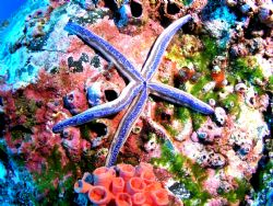 Blue Starfish taken in Cocos aboard an Aggressor ship.Tak... by Charlie Foreman