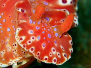 Short-tailed nudibranch (Ceratosoma brevicaudatum) by Brian Mayes