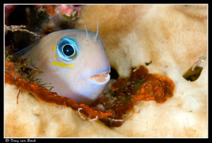 Blenny by Dray Van Beeck