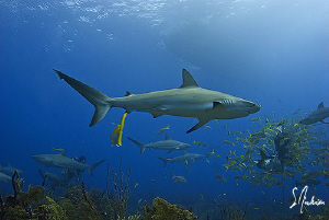 Soon after the bait crates were set the Reef Sharks appea... by Steven Anderson