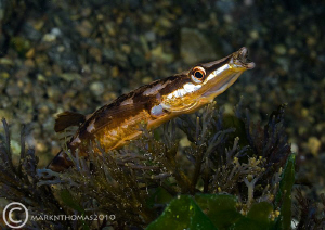 Fifteen-spined stickleback.