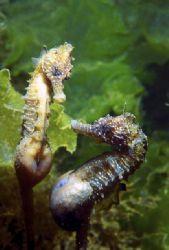 "Two pregnant sea horses ""Hippocampus ramulosus"". Spring t... by Lyubomir Klissurov"