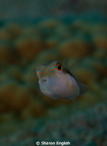Juvie Boxfish by Sharon English
