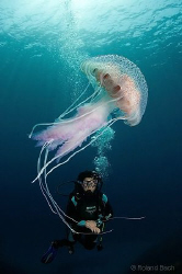 Diver with luminous jellyfish ( Pelagia noctiluca ) by Roland Bach