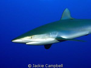 """The silky sharks on this dive were playing """"chicken"""" with... by Jackie Campbell"""