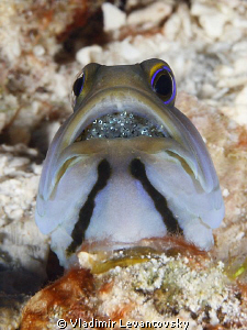 Male Yellowhead jawfish incubating babies in his mouth. C... by Vladimir Levantovsky