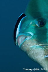 A cleaner wrasse hard at work on a batfish at Seraya, Bal... by Tammy Gibbs