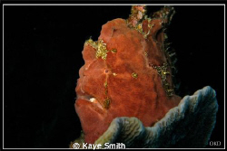 Giant frog fish. Deep Six, Similan Islands by Kaye Smith