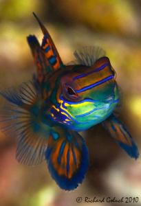 Mandarin Fish by Richard Goluch