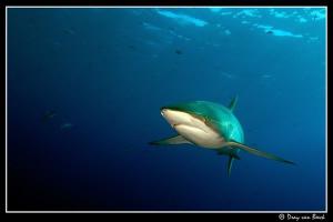 Silky shark at Daedalus reef.2 by Dray Van Beeck