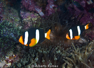 2 clownfish Anphiprion chypterus by Alberto Romeo