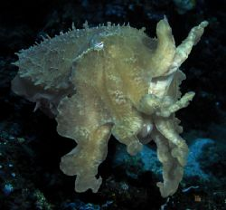 Cuttlefish photographed at Gangga, Indonesia in Sept 04. ... by Len Deeley