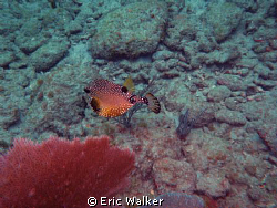 Trunkfish by Eric Walker