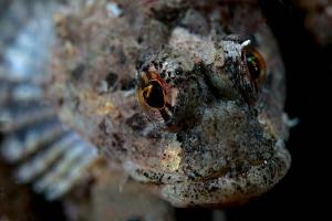 Long Spined Sea Scorpion (Taurulus bubalis), Trefor Pier,... by Jim Garland