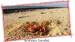 Ghost crab on the desert island in Farasan Banks by Mauro Serafini