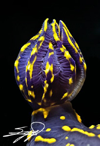 "The gills of Cryptobranch dorid nudibranch ""Hypselodoris ... by Nicholas Samaras"